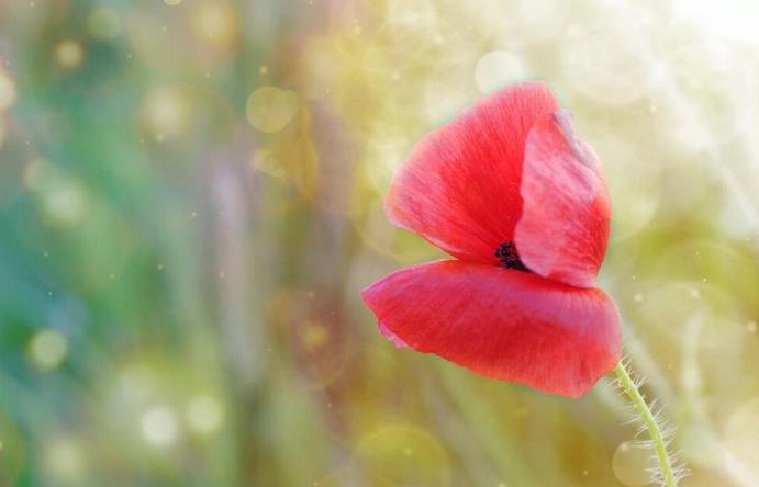 Glittering flowers: magical poppy flower photography
