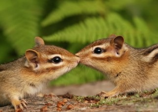 Kissing Baby Chipmunks Card